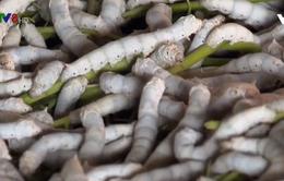 Đắk Nông: Thu nhập cao nhờ trồng dâu nuôi tằm