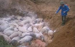 Ngăn chặn vụ mổ lợn dịch tả lợn châu Phi đem bán