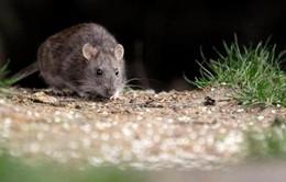 Một phụ nữ Mỹ tử vong nghi do nhiễm virus từ chuột