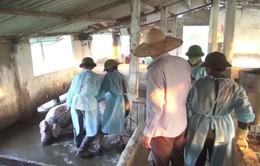 Tả lợn Châu Phi lây lan tới các xã đảo Kiên Giang