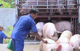 Người chăn nuôi muốn bán tháo đàn lợn vì sợ dịch tả