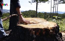 Bắt quả tang một đối tượng phá rừng thông bằng thuốc độc