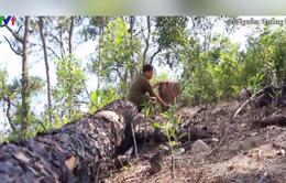 Hàng nghìn cây thông hơn 30 năm tuổi bị triệt phá