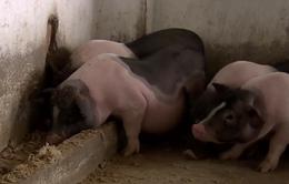 Xem xét di dời đàn lợn Móng Cái ra đảo tránh dịch