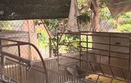 Đồng Nai: Hàng ngàn hộ dân cầu cứu vì dịch tả lợn châu Phi