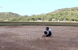Nam Trung Bộ mất trắng hàng nghìn ha lúa do hạn hán
