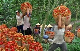Chôm chôm Java vào vụ thu hoạch rộ