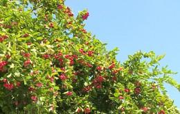 Thăm vườn siro trĩu quả ở Tiền Giang