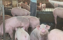 Quy trình xử lý lợn nhiễm dịch tả châu Phi tại TP.HCM