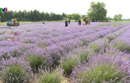 Làm giàu nhờ khai thác du lịch từ hoa oải hương