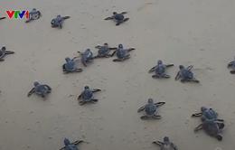 Hơn 1.500 rùa con sinh trưởng ở Cù Lao Chàm