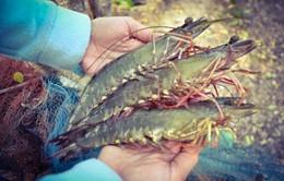 Nhiều mẫu nước nuôi tôm ở Trà Vinh có vi khuẩn Vibrio