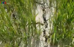 Quảng Trị: Nước nhiễm mặn gây khó khăn cho sản xuất nông nghiệp