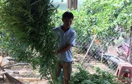 Phát hiện hàng trăm cây cần sa trong rẫy cà phê