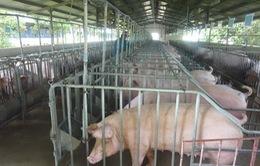 Nguồn cung thịt lợn từ nay đến cuối năm sẽ ra sao?