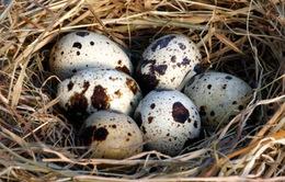 Trứng chim cút mang lại nhiều tác dụng cho sức khỏe