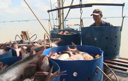 Giá cá tra thấp nhất 10 năm qua
