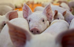 Hai huyện ở Thanh Hóa công bố hết dịch tả lợn châu Phi