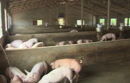 Bà Rịa - Vũng Tàu: Phát hiện thêm nhiều ổ dịch tả lợn châu Phi
