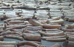 Singapore sẽ cấm bán mọi sản phẩm liên quan đến ngà voi