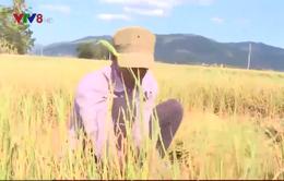 Phú Yên: Hết nguồn nước  chống hạn – nông dân cắt lúa cho bò