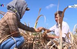 Nông dân trồng mía điêu đứng vì nắng hạn