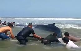 Cứu cá voi mắc cạn ở Peru