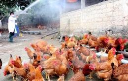 Tiêu hủy 1.500 con gà nhiễm cúm A/H5N1