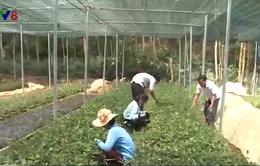 Phát triển nông nghiệp từ cây dược liệu bản địa ở vùng cao Quảng Nam
