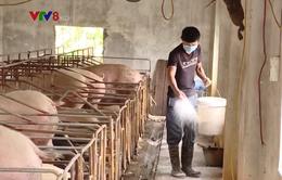 Dịch tả lợn Châu Phi hoành hành tại Quảng Nam