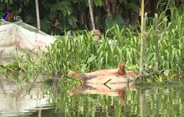 Xác lợn vứt trôi nổi trên sông: Dịch bệnh lây lan nhanh theo dòng nước