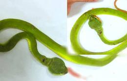 Liên tiếp cấp cứu bệnh nhân bị rắn lục đuôi đỏ cắn