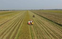 Đồng bằng sông Cửu Long: Sản lượng lúa Hè Thu dự kiến tăng 150.000 tấn