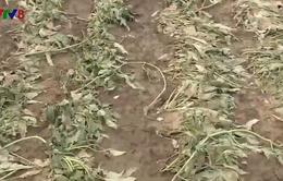 Đà Nẵng: Nông nghiệp thiệt hại do nhiễm mặn