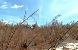 Phú Yên: Hàng trăm hecta rừng phòng hộ ven biển chết khô
