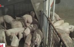 Tỉnh Tứ Xuyên (Trung Quốc) cho phép nuôi lợn trở lại