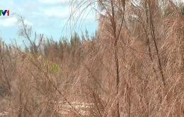 Hàng trăm ha rừng phòng hộ ven biển chết khô