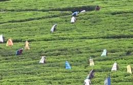 Xuất khẩu chè của Sri Lanka đạt mức cao kỷ lục
