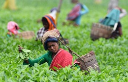 Trà Assam đặc sản lập kỷ lục trà đắt nhất thế giới