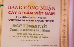 Chè Shan tuyết cổ thụ được công nhận là cây di sản Việt Nam