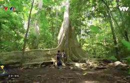 Những cây cổ thụ khổng lồ ở vườn quốc gia Cát Tiên