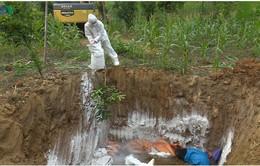 Sơn La tiêu hủy 400 tấn lợn bị dịch tả lợn châu Phi