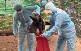 Xuất hiện 2 ổ dịch cúm gia cầm H5N6