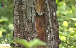 Ninh Bình: Rừng thông phòng hộ bị cạo vỏ