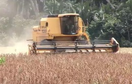 Sản lượng ngũ cốc Brazil dự báo đạt kỷ lục trong năm nay