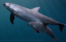 Mexico tìm thấy cá heo thuộc loại có nguy cơ tuyệt chủng cao