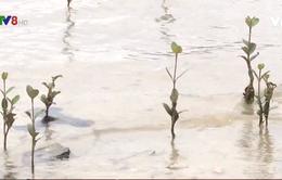 Quảng Nam phục hồi nhiều diện tích rừng ngập mặn