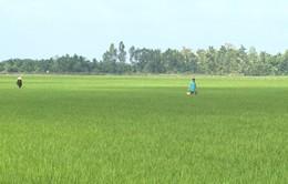 Khi cánh đồng không còn năng suất do hạn mặn
