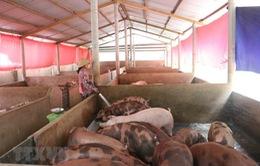 Người chăn nuôi e ngại tái đàn