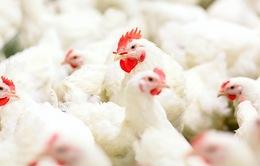 Người tiêu dùng Trung Quốc tăng tiêu thụ thịt gà từ Thái Lan